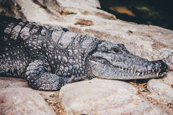 Рецепт крокодила