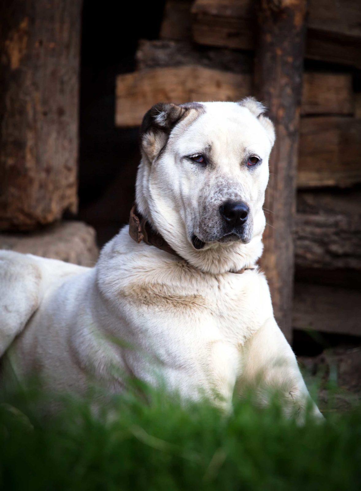 Алабай - собака охранник
